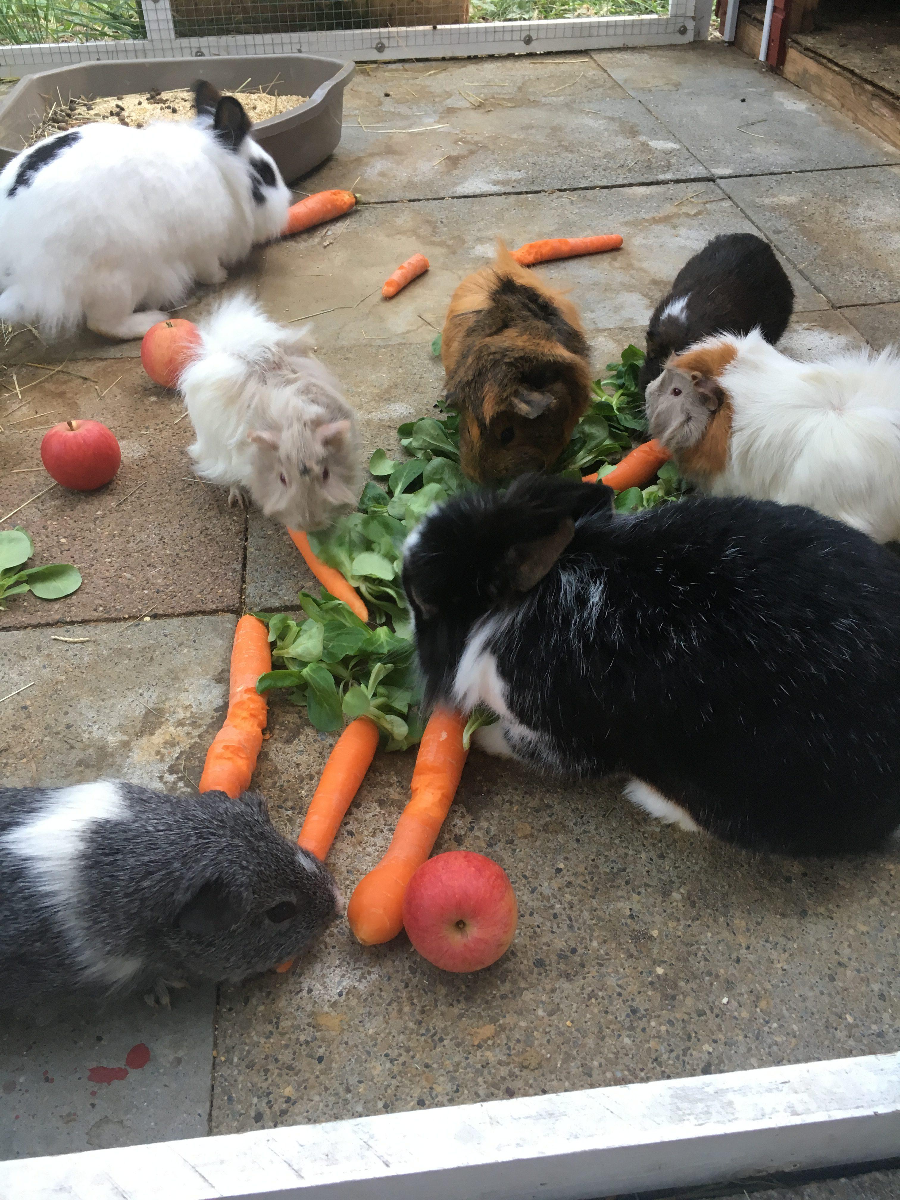 Meerschweinchen und Kaninchen im Freigehege