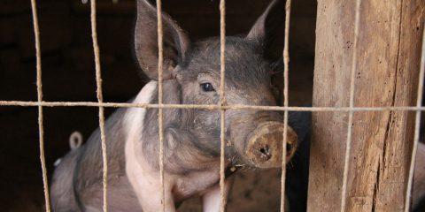 ferkel-im-schweinestall