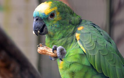 Papagei Amazone Erdnuss