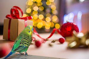 Weihnachten Wellensittich
